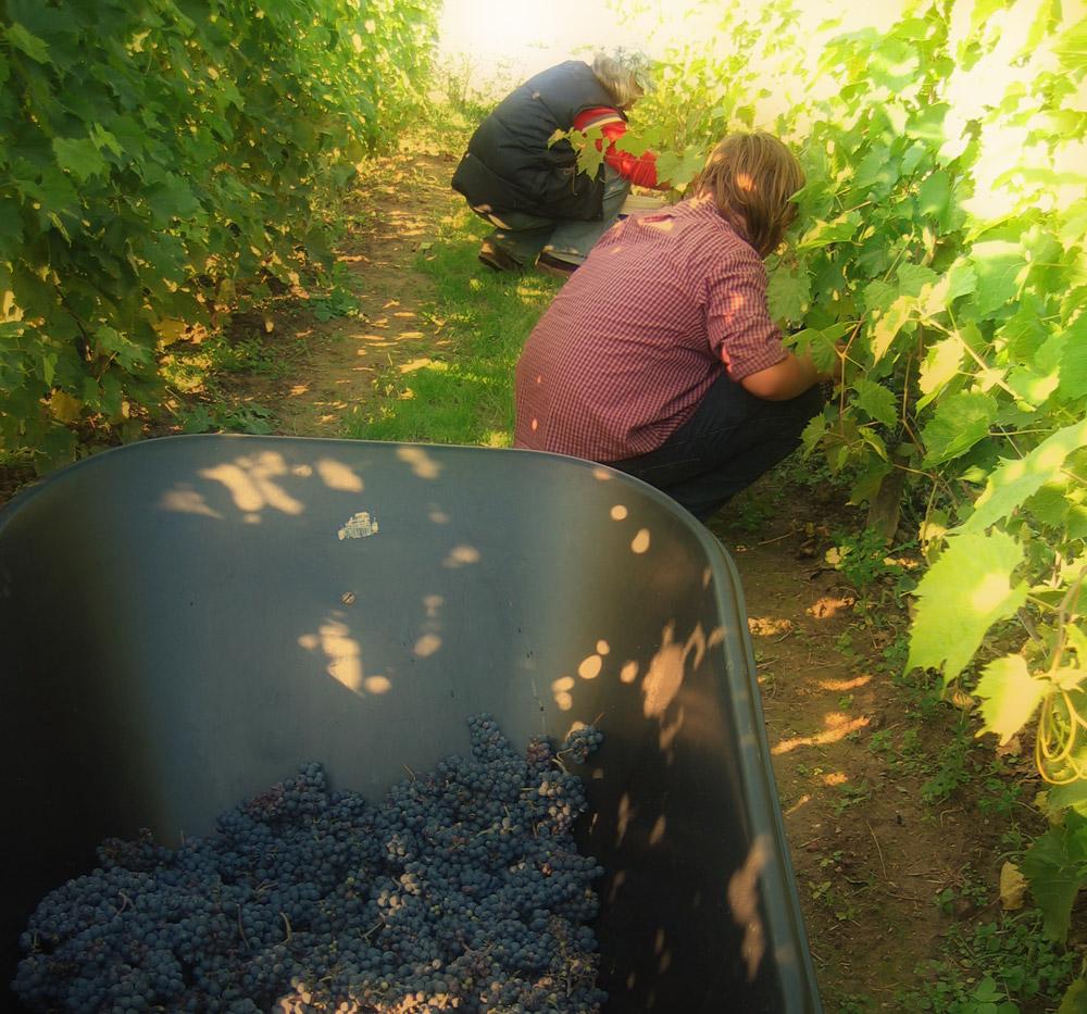 Winiarze Dolnej Wisły zbiory