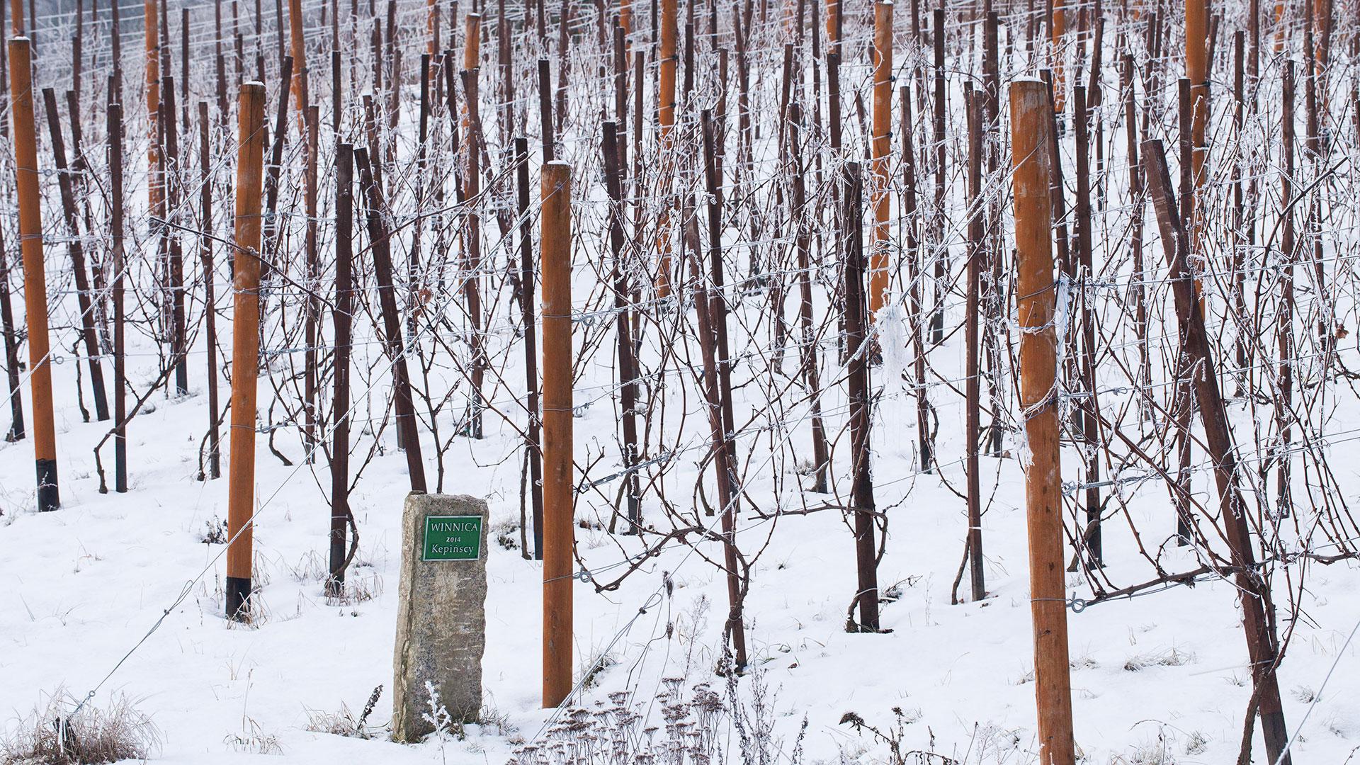 Winiarze Dolnej Wisły zima